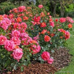 Růže SOMMERSONNE polyantka 2l ADR
