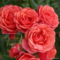 Růže MANDARIN zakrslá 2l