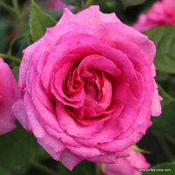 Růže FRAULEIN MARIA parfuma 2L