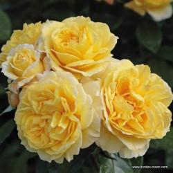 Růže SUNSTAR polyantka 2 l ADR