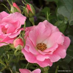 Růže ROSELINA polyantka 2L