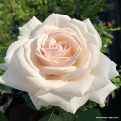 Růže GRAFIN ELKE ZU RANTZAU parfuma 2L