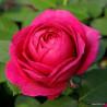 Růže FUR ELISE polyantka 2L