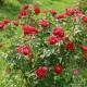 Růže ROSE DER EINHEIT polyantka 2L ADR