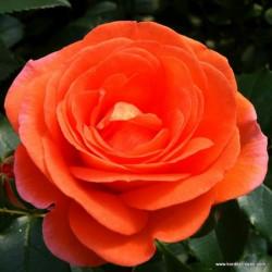 Růže MANGO polyantka 2l
