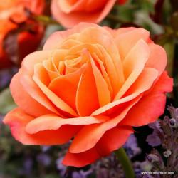 Růže CORAL LIONS ROSE polyantka 2L ADR