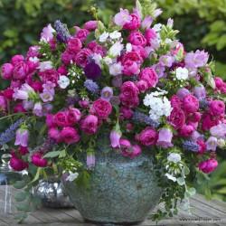 Růže POMPONELLA polyantka 2L ADR