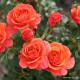 Růže LAMBADA sadová 2L