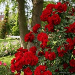 Růže ROTER KORSAR sadová 2L ADR