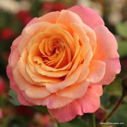 Růže PEACH MELBA pnoucí 2L