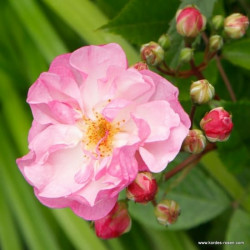Růže LAVENDER SILUETTA pnoucí 2L