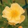 Růže SUNNY SILUETTA pnoucí 2L