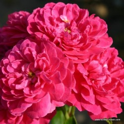 Růže ROXY zakrslá 2L ADR