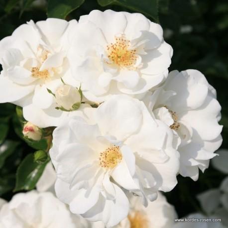 Růže INNOCENCIA polyantka 2L