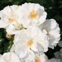 Růže INNOCENCIA polyantka 2L ADR
