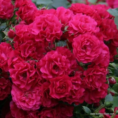 Růže GÄRTNERFREUDE pokryvná 2L
