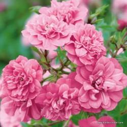 Růže SWEET KNIRPS pokryvná 2L