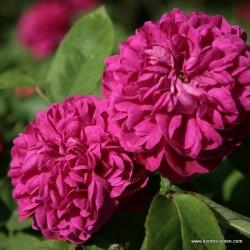 Růže ROSE DE RESHT R.damascena