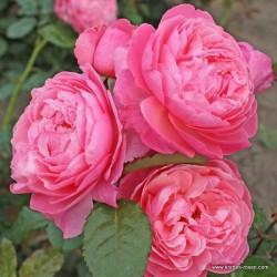 Růže KOLNER FLORA sadová 2L