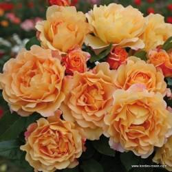 Růže SONNENWELT sadová 2L
