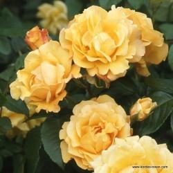 Růže POSTILLION sadová 2L ADR