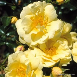 Růže SUNNY ROSE pokryvná 2L ADR
