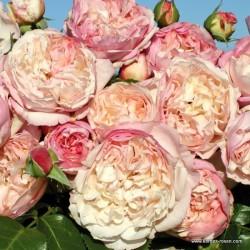 Růže HERKULES sadová 2L