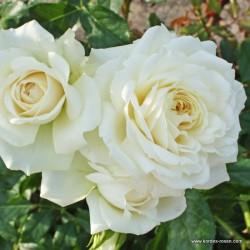 Růže ALASKA pnoucí 2L