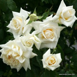 Růže ILSE KROHN SUPERIOR pnoucí 2L