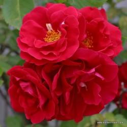 Růže FLAMMENTANZ pnoucí rambler 2L