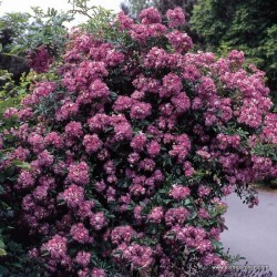 Růže VEILCHENBLAU pnoucí rambler 2L
