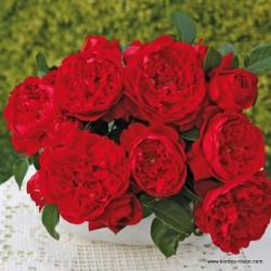 Růže FLORENTINA pnoucí 2L
