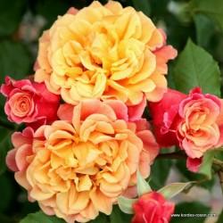 Růže ALOHA pnoucí 2L