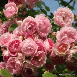 Růže JASMINA pnoucí 2L ADR