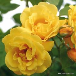 Růže GOLDEN GATE  pnoucí 2L ADR