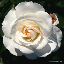 Růže SUMMER MEMORIES sadová 2L