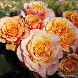 Růže LA VILLA COTTA keřová