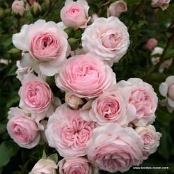 Růže LARISSA  pokryvná 2L ADR