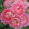Růže FLIRT zakrslá 2L ADR