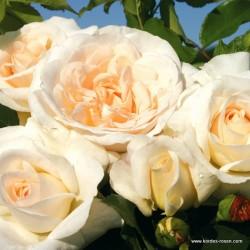 Růže KOSMOS polyantka 2L ADR