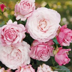 Růže ROSENFASZINATION polyantka 2l